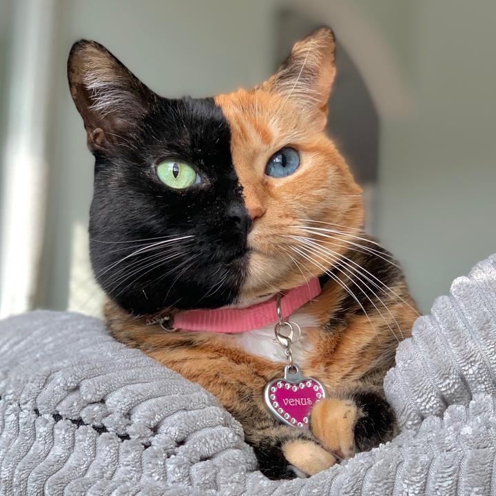 Venus Two Face Cat - venustwofacecat