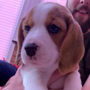 BeagleBailey19