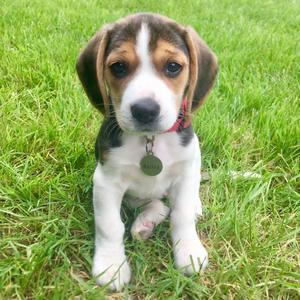 @beaglebailey - Beagle Bailey
