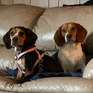 @beagletwins07 - Max and Petunia